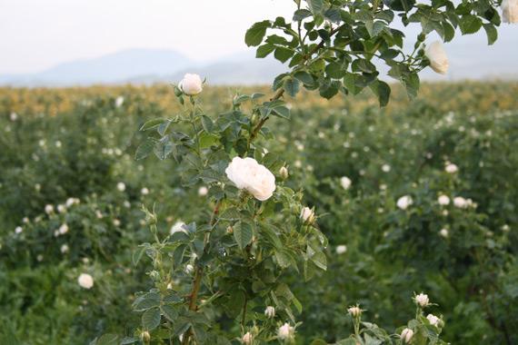 White Rose Alba