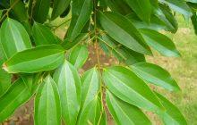 Cassia CO2