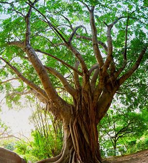 Cabreuva Wood Essential Oil 1