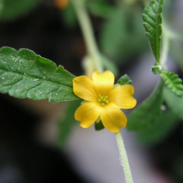Damiana Essential Oil 1