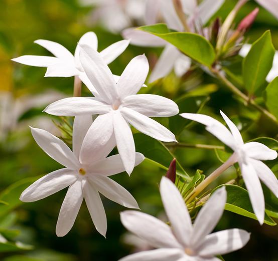 Jasmine Tea CO2