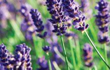 Lavender CO2 (SELECT)