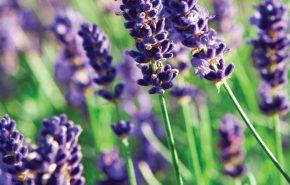 Lavender CO2