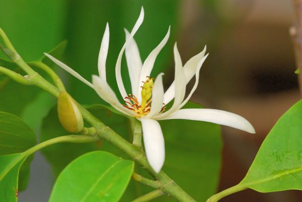 Alba Michelia Flower Essential Oil