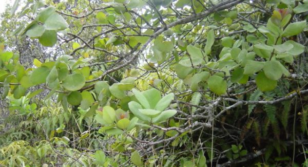 Sandalwood West Indies (Amyris)