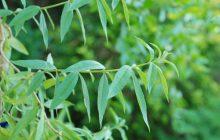 Verbena TRUE Essential Oil (Aloysia triphylla)