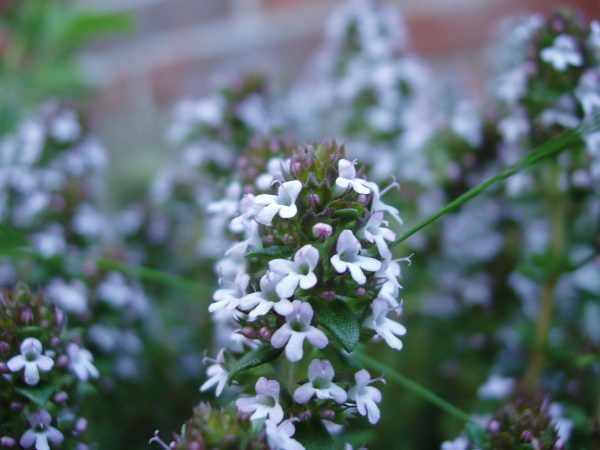 Thyme ISOLATES Blend