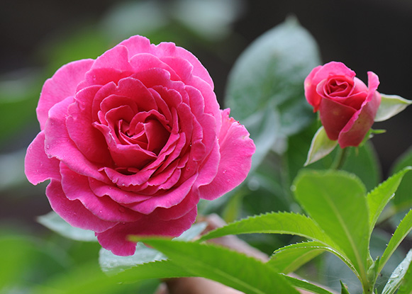 Chinese Rose Flower Absolute
