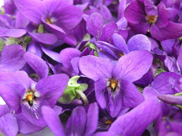 violet flower extrait from enfleurage  hermitage essential oils, Beautiful flower