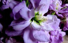 Stock-Flower
