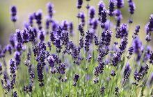 Lavender-40-42-esssential-oil