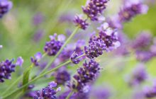 Lavender-BP-essential-oil