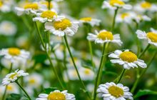 chamomile-roman-essential-oil