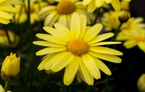 Arnica Flower Absolute