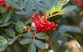 Brazilian pepper berries CO2
