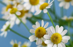 chamomile CO2