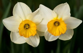 Narcissus Absolute
