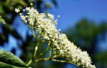 Elderflower CO2