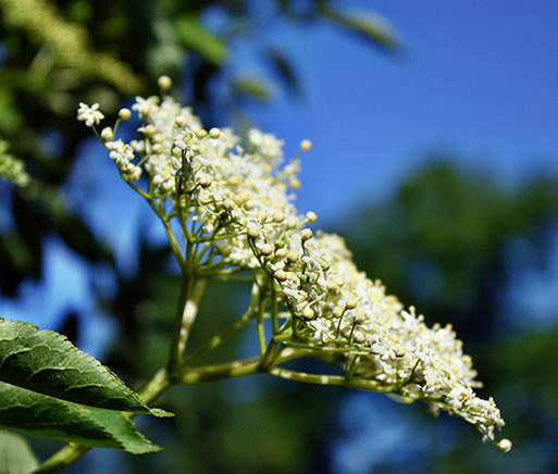 Elderflower CO2