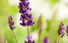 Emerald-lavender