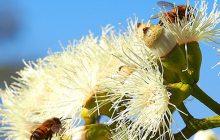 Eucalyptus-organic-essential-oil
