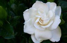 Gardenia-Flower