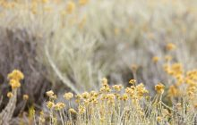 Helichrysum-odoratissimum-essential-oil