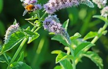 Horsemint-mentha-longifolia-essential-oil