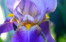 Iris Butter