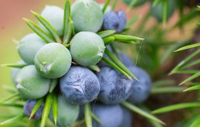 Juniper Berries Absolute