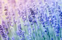 Lavender-English-essential-oil