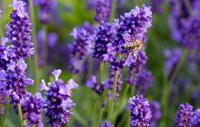 Lavender-sweetie-Dalmatian-essential-oil