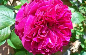 Persian Rose Otto Essential Oil