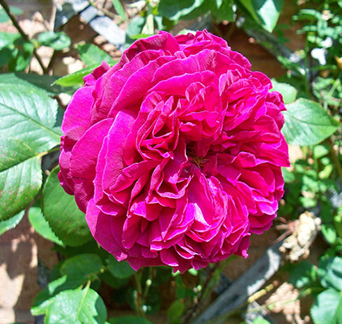 Persian Rose Otto Essential Oil