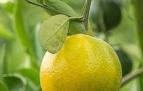 petitgrain bergamotier essential oil