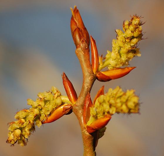 Poplar Buds Absolute