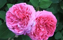 Rose-otto-CO2