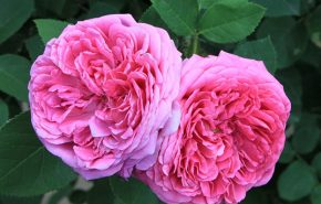 Rose Otto CO2