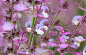 Russian Clary Sage Absolute