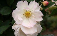 White-rose-CO2