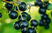 blackcurrant-abs