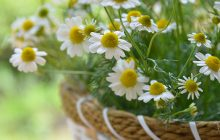 Chamomile Absolute