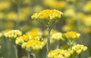 helichrysum absolute