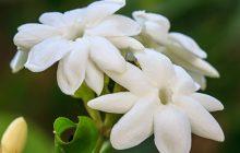 jasmine-officinalis-CO2