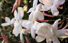 jasminepolyanthum