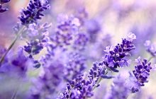 lavender-high-altitude-essential-oil