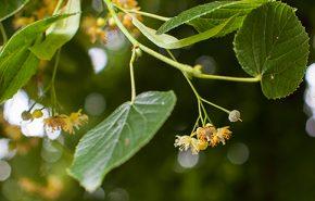 Linden Blossom CO2