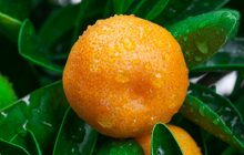 mandarin-essential-oil-yellow