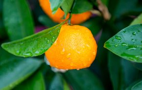 mandarin yellow essential oil organic
