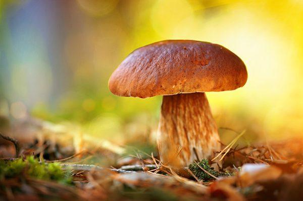 Mushroom Absolute